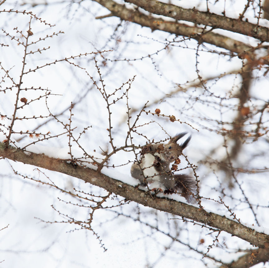 02.エゾリス(Sciurus vulgaris orientis) ネズミ目 リス科 (3・4月)