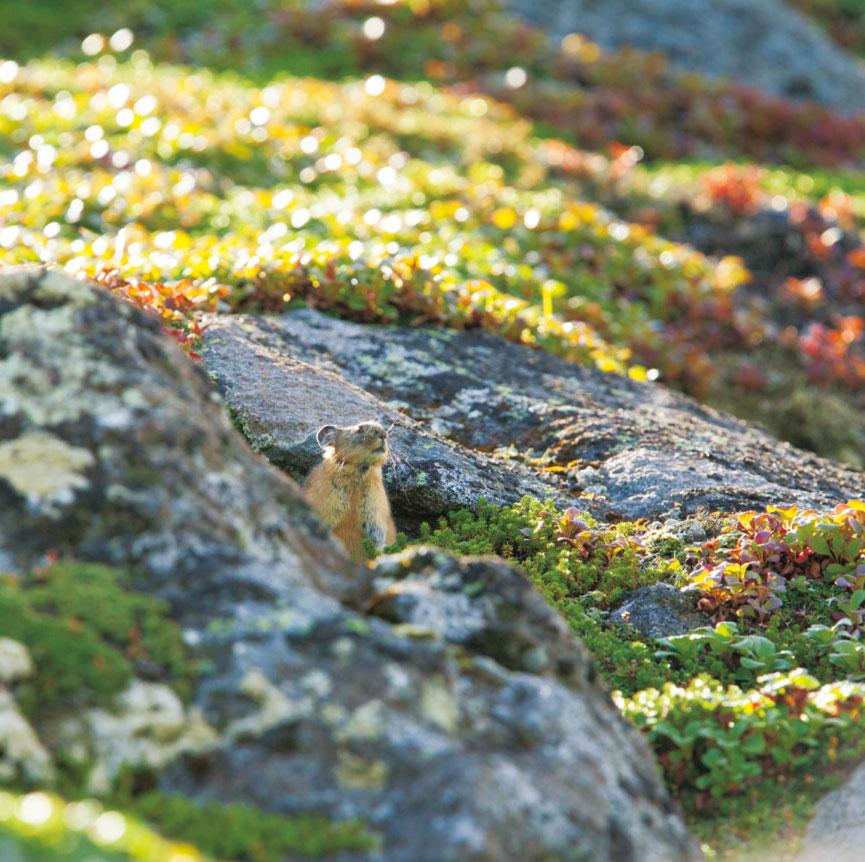 05.エゾナキウサギ(Ochotona hyperborea yesoensis) ウサギ目 ナキウサギ科 (9・10月)