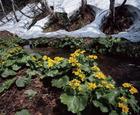 02.春の訪れを告げるエゾノリュウキンカ(3・4月)