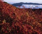 05.紅葉するナナカマド(9・10月)