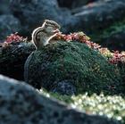05.エゾシマリス 黒岳山頂と石室の間(ポン黒岳)(9・10月)