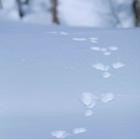 00.表紙 エゾユキウサギの足跡