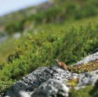 05.ナキウサギ 黒岳山頂と石室の間(ポン黒岳)(9・10月)