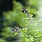 04.オナガアゲハ 高原温泉(7月・8月)