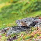 05.ナキウサギ 黒岳山頂と石室の間(ポン黒岳)(9月・10月)