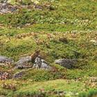 03.エゾナキウサギ 黒岳山頂と石室の間(ポン黒岳)(5月・6月)