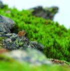 04.エゾナキウサギ 黒岳山頂と石室の間(ポン黒岳)(7・8月)